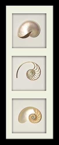 Pearl Nautilus Tricut - Portrait - Black Frame