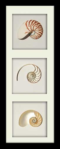 Striped Nautilus Tricut - Portrait - Black Frame