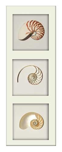 Striped Nautilus Tricut - Portrait - White Frame