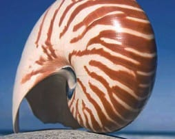 Striped Nautilas Shell