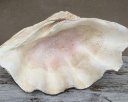 Half Clam Shell - Natural Finish