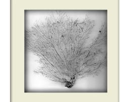 Silver Sea Fan - White Frame