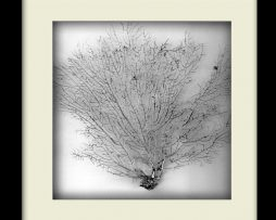 Silver Sea Fan - Black Frame